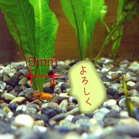 プラティ稚魚.jpg